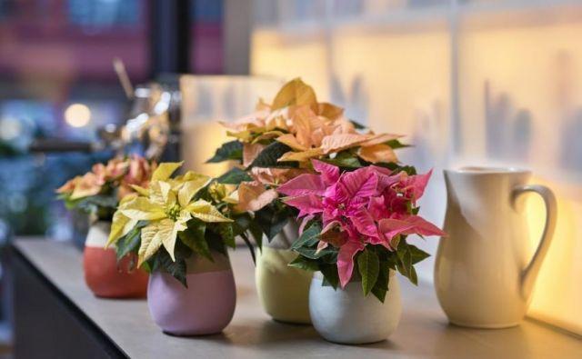 Božične zvezde so priljubljen okras južnomehiških domov. Foto Shutterstock