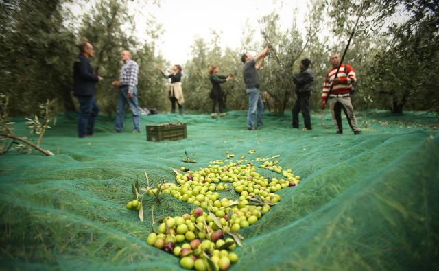 Obiranje oljk v oljčniku družine Jenko na Srminu nad Škocjanskim zatokom. FOTO: Jure Eržen/Delo