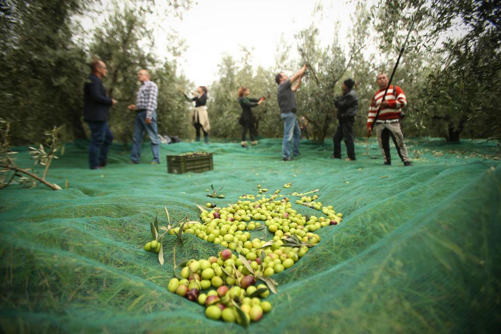 FOTO:S kakšno strategijo do še boljšega oljčnega olja