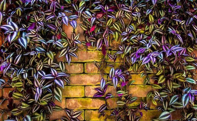 Ta retro lončnica, ki jo poleti lahko prenesemo na prosto, je ena izmed hvaležnih rastlin, ki jo zlahka gojijo začetniki. Foto Shutterstock