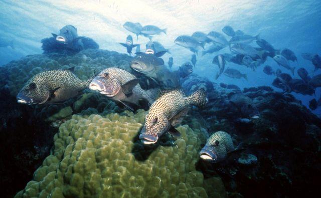 »Zdravi koralni grebeni so zelo hrupna območja. Mlade ribe se ravnajo po teh zvokih, ko si iščejo kraj, kjer se bodo naselile,« je za BBC povedal Steve Simpson, profesor morske biologije na univerzi vExetru. FOTO: Reuters