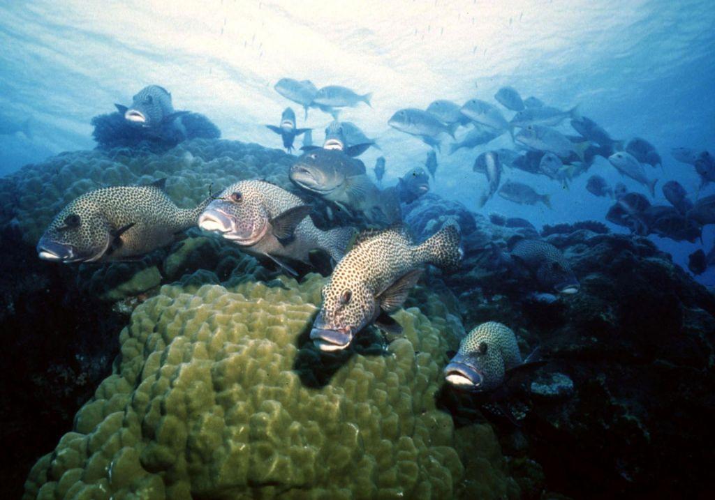 Mrtve koralne grebene rešujejo s predvajanjem zvokov zdravih