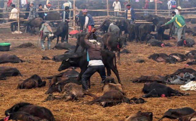 Prihajajočega dvodnevnega festivala, ki ga Hindujci organizirajo vsakih pet let, se v Nepalu udeleži več milijonov hindujcev. Gre za množično žrtvovanje živali ob templju v nepalskem mestu Bariyarpur. V dveh dneh na grozovit način umre več deset tisoč živali. Da se je število žrtvovanih živali zmanjšalo, veseli zaščitnike živali, ki pa kljub temu ostro nasprotujejo festivalu. »Nasprotujemo okrutnemu ravnanju z živalmi. Nekatere živali umirajo 40 minut, saj jim ne odsekajo glave,« pravi tamkajšnja aktivistka za pravice živali Pramada Shah, ki opozraja tudi na dejstvo, da te živali mučijo še preden prispejo do templja. FOTO: Prakash Mathema/Afp