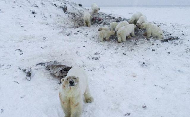 Kar 56 medvedov se je zbralo na smetišču na obrobju vasi Rirkajpij na severovzhodu Rusije. FOTO: Maksim Djominov/WWF