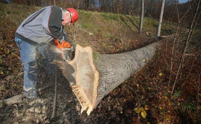 Silvester Potočnik (na levi) bo na licitacijo lesa pripeljal okoli devetdeset let star hrast. FOTO: Tadej Regent/Delo