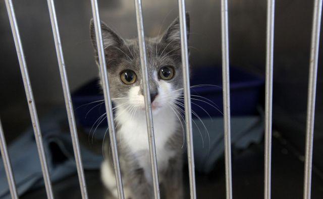 Lani je zavetišče v 18 občinah obravnavalo 582 mačk, kar 517 jih je vrnilo v okolje, novim skrbnikom je oddalo le 18 mačk. (Fotografija je simbolična.) FOTO: Mavric Pivk
