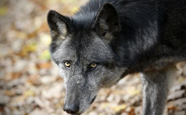 V preteklosti je bil volk razširjen po vsej Sloveniji, v sredini 20. stoletja pa je bil na robu izumrtja.FOTO: Blaž Samec/Delo