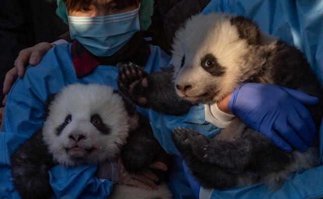 Velika panda Meng Meng je v berlinskem živalskem vrtu 31. avgusta skotila dvojčka. Mladička sta od sedaj naprej na ogled javnosti. Meng Meng, ki ima šest let, in devetletni oče mladičev Jiao Qing, živita v berlinskem živalskem vrtu od poletja 2017. Oba je živalskemu vrtu posodila Kitajska in prihajata iz rezervata v Chengduju. FOTO: John Macdougall/Afp