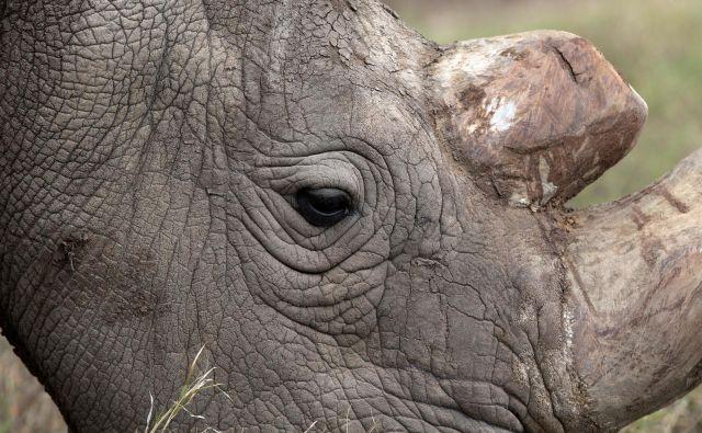 Severni beli nosorog Sudan leta 2017. FOTO: Reuters/Baz Ratner
