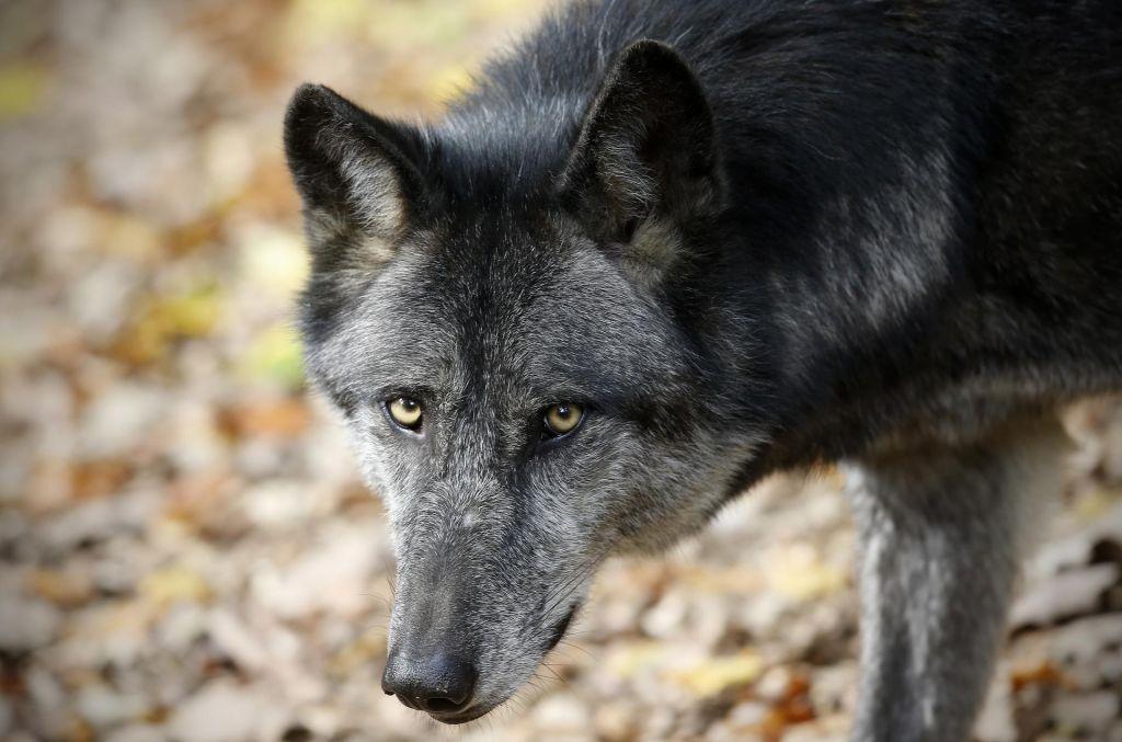 Iz živalskega vrta v Osijeku pobegnila volkulja