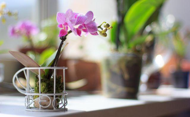 Falenopsisi v stanovanju ponavadi zacvetijo okrog novega leta. Foto Shutterstock