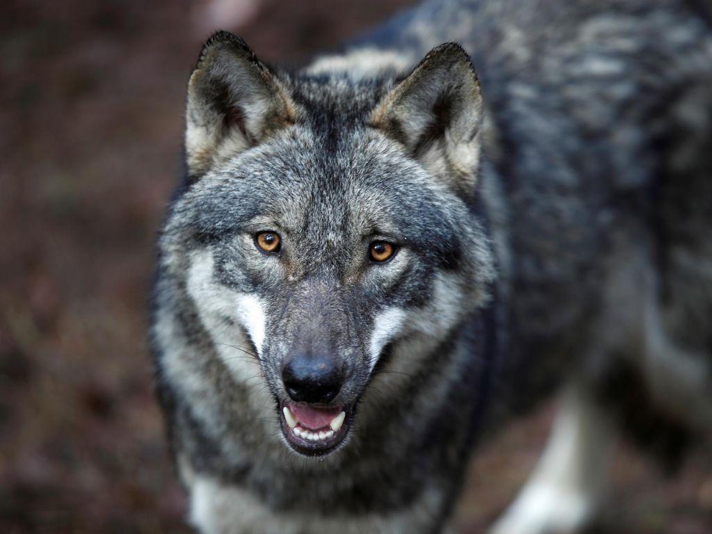 Čeprav je volkov več, so se škode za polovico zmanjšale