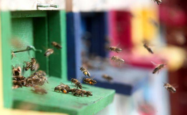 Brez čebel bodo težko preživele rastline, živali in ljudje. Foto Dejan Javornik