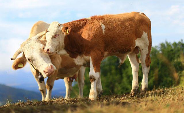 Krave s svojo prebavo prispevajo le okrog 2,5 odstotka toplogrednih plinov, ki se sproščajo v atmosfero. FOTO: Tomi Lombar