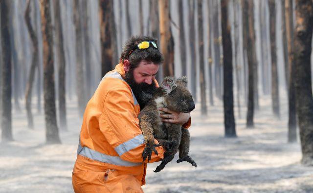 Okoljevarstvenik iz Adelaide Simon Adamczyk iz pogorelega gozda v bližini Cape Borda na otoku Kangaroo rešuje preživelo koalo. FOTO: Stringer/ Reuters