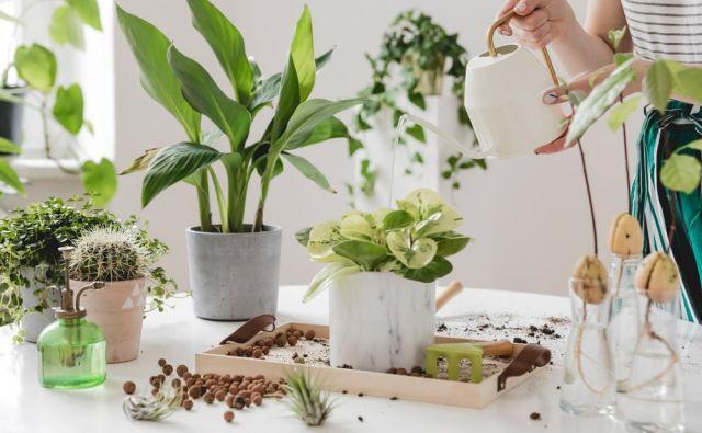 Tako kot drevje in drugo rastlinje čisti zrak na prostem, so sobne rastline zeleni čistilci, filtri in hkrati še vlažilci in ionizatorji notranjega zraka. Foto Shutterstock