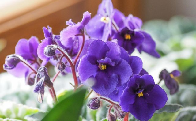 Afriške vijolice so drobne okrasne rastline, ki s svojimi raznobarvnimi cvetovi poživijo vsako sobo. FOTO: Shutterstock