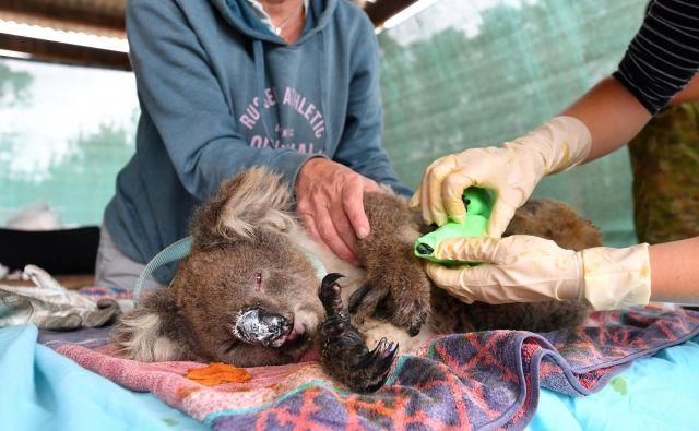 Veterinarji in prostovoljci skrbijo za rešene koale na Kengurujskem otoku. FOTO: AAP Image/David Mariuz/Reuters