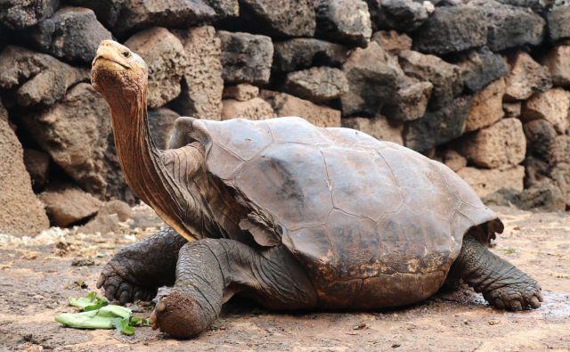 Orjaške želve so dolgo veljale za ogroženo živalsko vrsto, do otoka, kjer prebivajo, je namreč dostop lahek. FOTO: Galapagos National Park