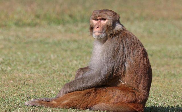 Pripadniki rezus makakov se s pomočjo nasilja, nepotizma in kompleksnih političnih zavezništev ves čas borijo za pridobitev višjega statusa v skupini. Pri uresničitvi svojih namer pride prav tudi seks. FOTO: Wikipedia
