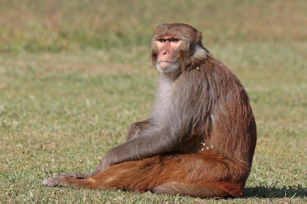 FOTO:Rezus makaki že tisoče let krojijo življenje po priporočilih Machiavellija