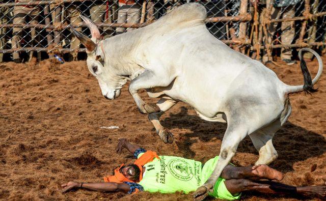 V vasi Palamedu v južni indijski zvezni državi Tamil Nadu poteka letni festival ukrotritve bikov Jalliksattu. FOTO: Arun Sankar/Afp<br />