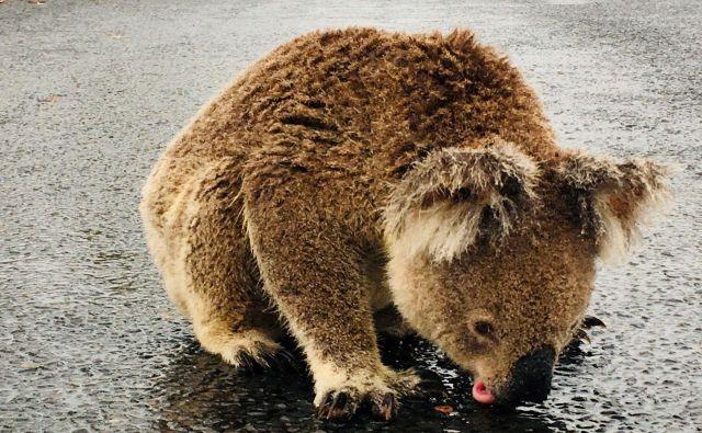 Dež v vzhodni Avstraliji ni prinesel olajšanja samo ljudem, ampak tudi številnim živalim. FOTO: Reuters