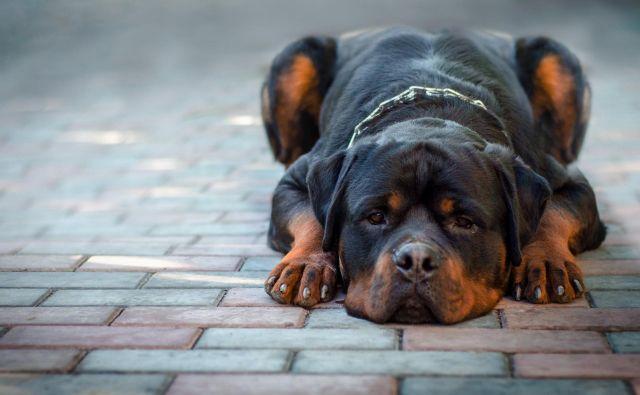 Rotvajlerje marsikdo uvršča med nevarne pasme, čeprav je največ odvisno od vzgoje živali. FOTO: Shutterstock