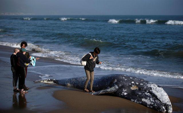Pogin kitov ob obalah Kalifornije je povzročil vročinski val in mreže ribičev na rake. FOTO: Reuters