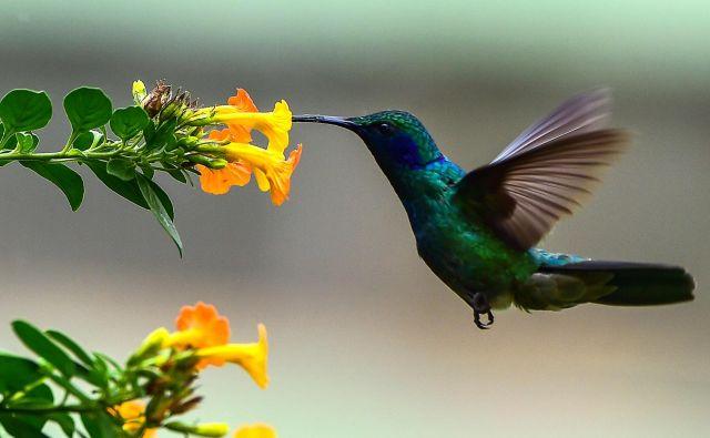 Kolibri se v letu hrani z nektarjem rože v provinci Chiriqui v Panami. Da so lahko več sekund na točno določenem mestu v zraku s krili zamahnejo do 80 krat v sekundi, odvisno od velikosti ptice. FOTO: Luis Acosta/Afp
