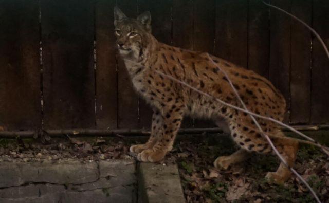 Drugega risa, ki so ga letos ulovili v Romuniji, bodo preselili v Slovenijo na območje Snežnika. FOTO: Life Lynx