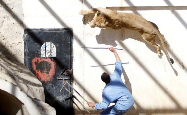 V živalskem vrtu v jemenskem mestu Sana krotilec uporablja palico, da izzove levinjo, ki je bila včasih v lasti jemenskega predsednika Alija Abdullaha Saleha. FOTO: Mohamed Al-sayaghi/Reuters