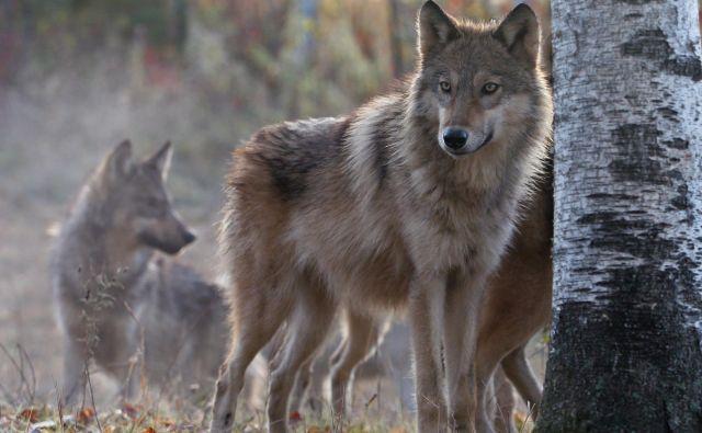 V Sloveniji živi 14 volčjih tropov, v katerih je 95 volkov. Med njimi pa se vse pogosteje pojavljajo križanci med volkom in domačim psom. FOTO: Shutterstock