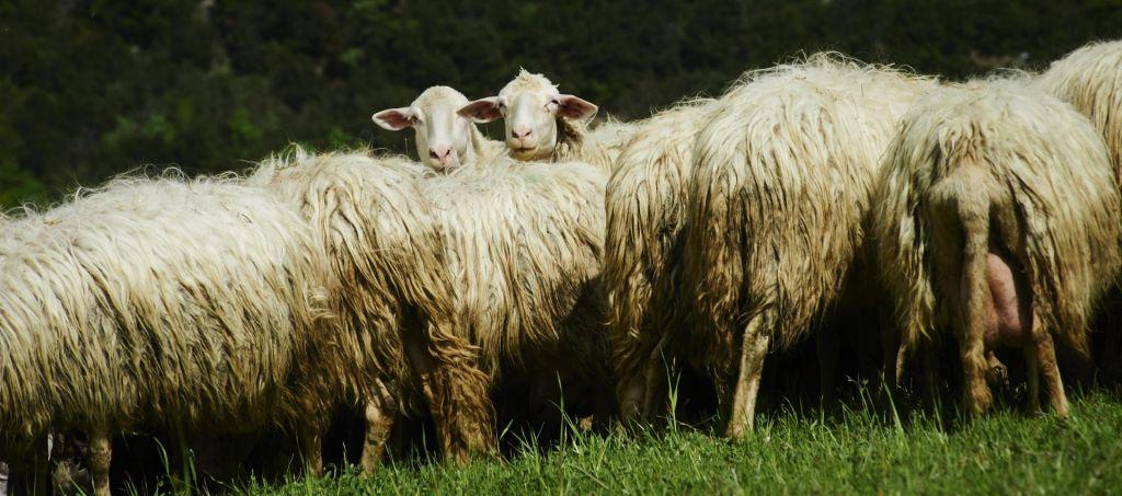 Basen o ovci in medvedu