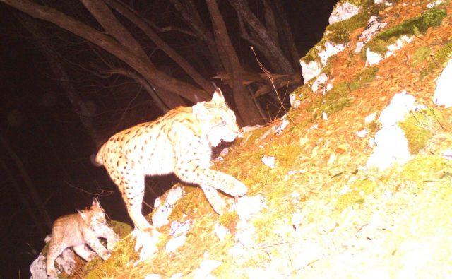 Risinja Teja in njena edinka Mala. FOTO: Life Lynx