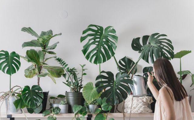 Pri iskanju dovolj osvetljenega mesta za sobne rastline pogosto poiščemo kompromise. Rastlin ne umikajmo pregloboko v prostor, kjer bi bile več kot dva metra od okna. Foto Shutterstock
