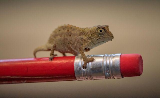 Kameleoni so med bolj ogroženimi vrstami. FOTO: Reuters