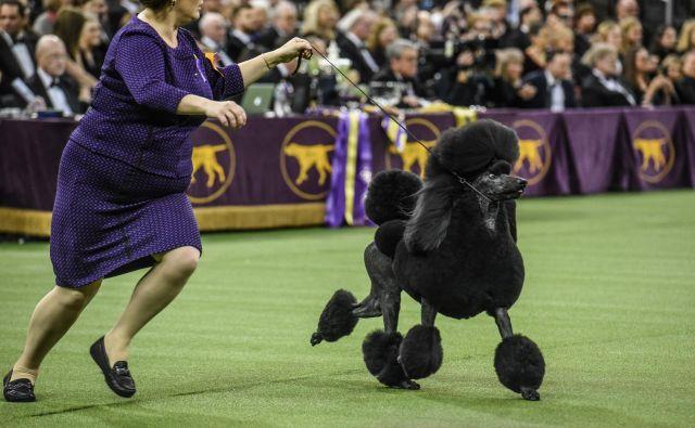 Naziv najlepšega na letošnji razstavi je pripadel tem črnem lepotcu, klasičnem pudlu po imenu Siba. FOTO: Stephanie Keith/Afp
