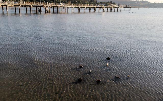 Biologi ugotavljajo, da so leščurji v našem morju še zdravi. Foto Boris Šuligoj