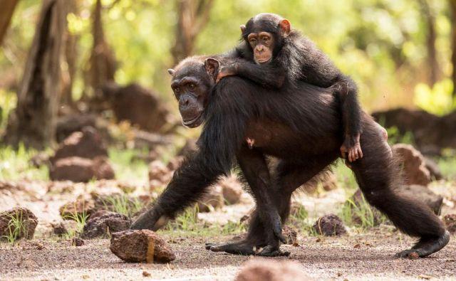 Dinastije: Šimpanzi. Foto TVS