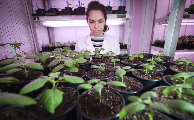 Mlada raziskovalka Olivera Maksimović Carvalho Ferreira v laboratoriju za analizo hrane ob mladih rastlinah krompirja. Foto Jože Suhadolnik