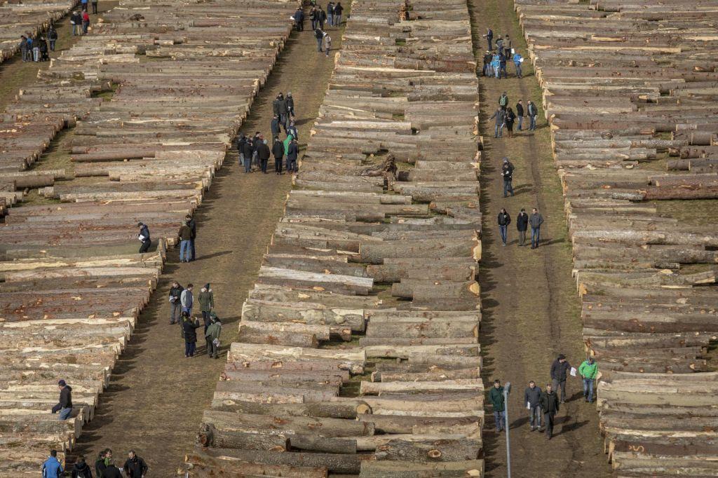 FOTO:29 tisočakov za hlod gorskegajavorja
