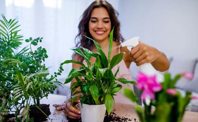 Rastlinski stilist je nova storitev, ki v velemestih postaja vse bolj iskana. Šepetalca lončnicam iščejo podjetja in posamezniki, ki radi uživajo v zelenju. FOTO: Shutterstock