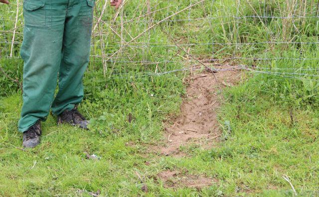 Volkovi si izkopljejo pot do plena pod žico. FOTO: Simona Fajfar