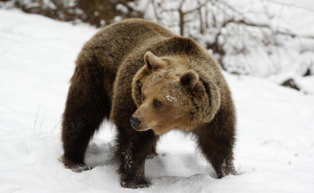 V Društvu za dobrobit živali AniMa so sprejetje zakonskega predloga označili za »poskus legalizacije poboja volkov in medvedov zaradi pritiskov interesnih lobijev«. FOTO: Matej Družnik