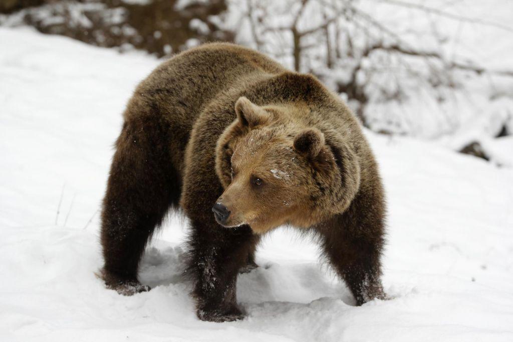 Državni svet s predlogom zakona o odstrelumedvedovin volkov