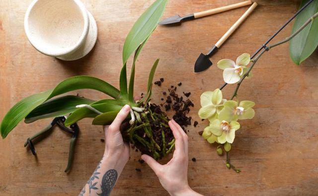Čeprav orhideje niso zahtevne za vzdrževanje, jih je na vsakih nekaj let priporočljivo presaditi. FOTO: Shutterstock