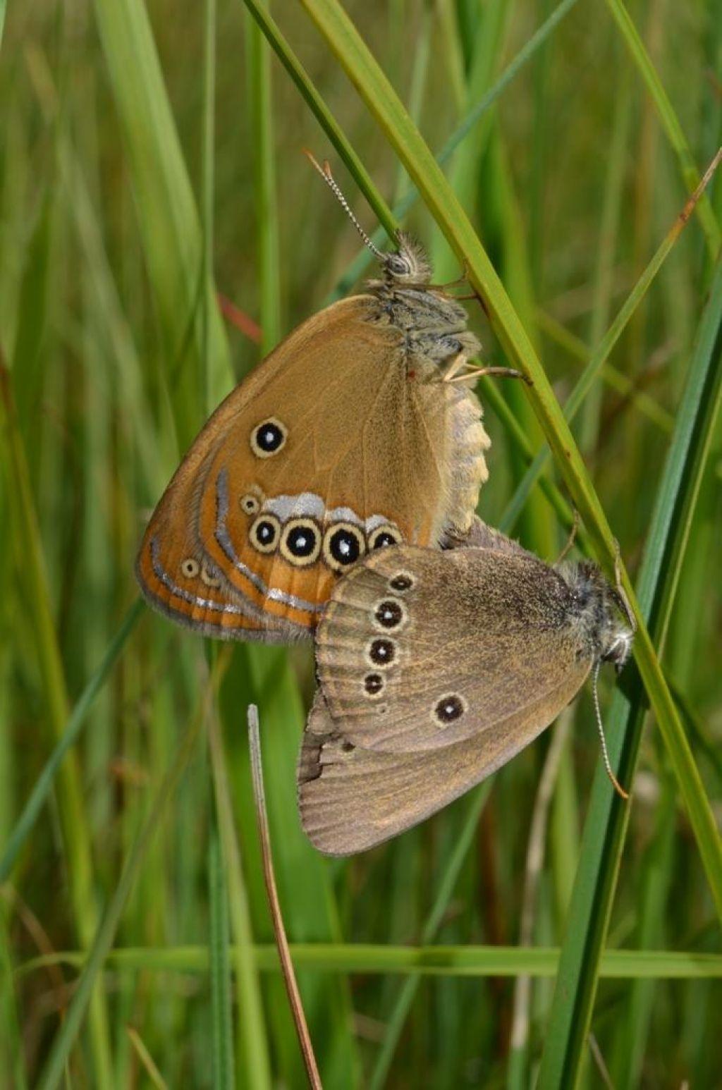 FOTO:Na Barje naseljujejo metulje in hrošče