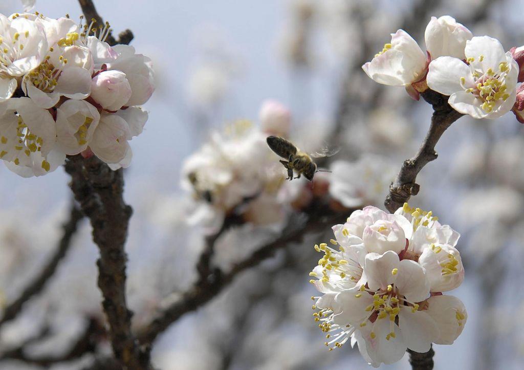 Veliko prezgodnje cvetenje marelic in breskev