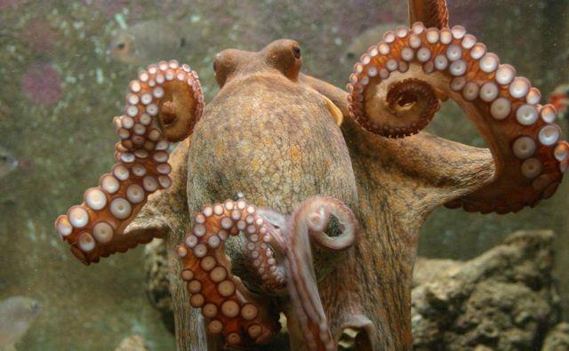 Ena hobotnica ima 240 priseskov. Foto Boris Šuligoj